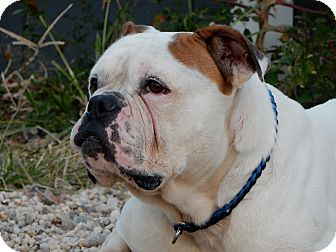 English Bulldog/American Bulldog Mix Dog for adoption in Long Beach, New York - Mason