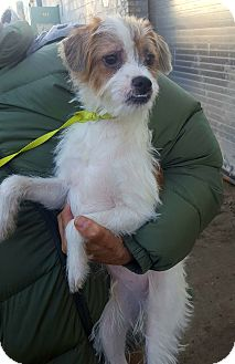 Jack Russell Terrier/Maltese Mix Puppy for adoption in Bronx, New York - Bowie