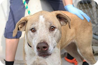 Labrador Retriever/Terrier (Unknown Type, Medium) Mix Dog for adoption in Martinsville, Indiana - Miley