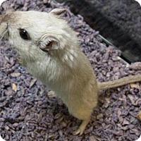 Gerbil for adoption in Methuen, Massachusetts - CAINE