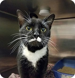 Domestic Shorthair Cat for adoption in Elyria, Ohio - Groucho