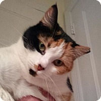 Calico Cat for adoption in Moorestown, New Jersey - Addie