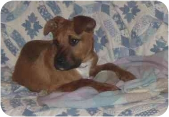 American Pit Bull Terrier/Rottweiler Mix Puppy for adoption in New Kent, Virginia - pit mix pups