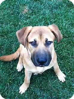Anatolian Shepherd/Labrador Retriever Mix Puppy for adoption in Torrance, California - Brody