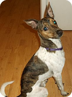 greyhound terrier mix danny adopted dog warsaw in italian greyhound rat 4936