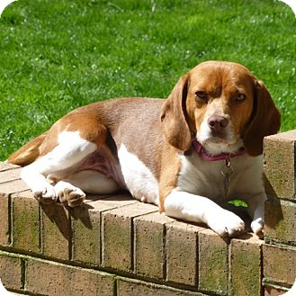 Beagle Dog for adoption in Pittsburgh, Pennsylvania - Pogo