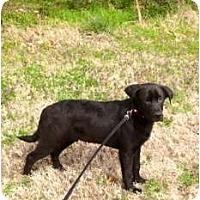 Adopt A Pet :: Rambo - Westbrook, CT