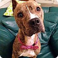 Adopt A Pet :: Pax - Baton Rouge, LA