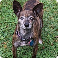 Adopt A Pet :: Desi - Mount Gretna, PA