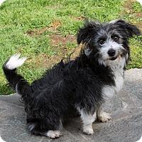 Adopt A Pet :: Dixie - Lynnwood, WA