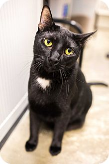 Domestic Shorthair Cat for adoption in Keller, Texas - Cash
