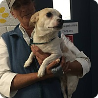 Chihuahua Mix Dog for adoption in Fincastle, Virginia - Skipper