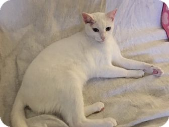 Domestic Shorthair Cat for adoption in Garland, Texas - Cloud