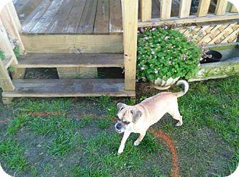 Pug/Beagle Mix Dog for adoption in Wilmington, Delaware - Zara