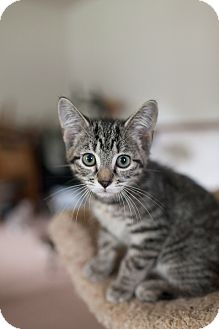 Domestic Shorthair Kitten for adoption in Statesville, North Carolina - Madelaine