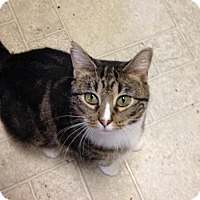 Domestic Mediumhair Cat for adoption in Fishers, Indiana - Nixie