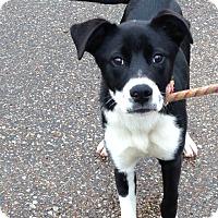 Adopt A Pet :: Rose - Boston, MA