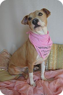 American Staffordshire Terrier Mix Dog for adoption in Aurora, Colorado - Destiny