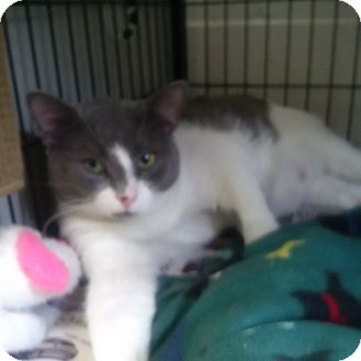 Domestic Shorthair Cat for adoption in North Kingstown, Rhode Island - Sage