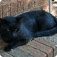 American Shorthair Cat for adoption in Charlotte, North Carolina - Zuko