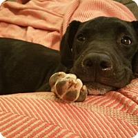 Adopt A Pet :: Barrow - Carlisle, PA