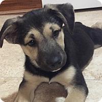 Adopt A Pet :: Woody - Staten Island, NY