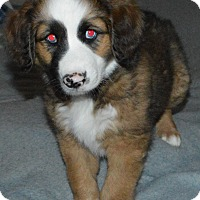 Adopt A Pet :: Bear - Peyton, CO