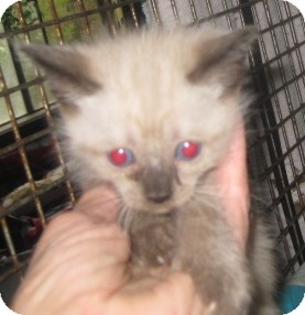 Ragdoll Kitten for adoption in Dallas, Texas - Cocoa Puff