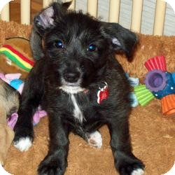 Yorkie, Yorkshire Terrier/Cairn Terrier Mix Puppy for adoption in The Villages, Florida - Pippi