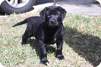 Labrador Retriever/German Shepherd Dog Mix Puppy for adoption in Minneola, Florida - Angus