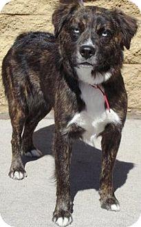 Australian Shepherd Mix Dog for adoption in Gilbert, Arizona - Bella Donna