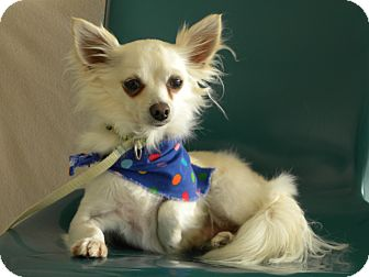 Chihuahua Dog for adoption in Princeton, Kentucky - Carlos Santana