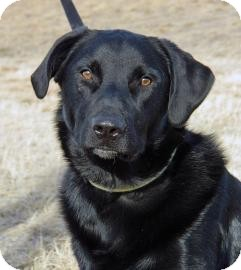 Labrador Retriever Mix Dog for adoption in Cheyenne, Wyoming - Fezzik