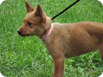 Shepherd (Unknown Type) Mix Puppy for adoption in Hollis, Maine - Ruby