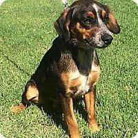 Adopt A Pet :: Pedro - Newbury Park, CA