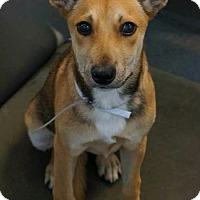 Adopt A Pet :: Freya - Flower Mound, TX