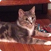 Domestic Shorthair Cat for adoption in Bedford, Virginia - Chance