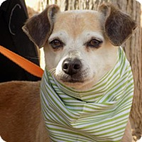 Terrier (Unknown Type, Medium) Mix Dog for adoption in Apple Valley, California - Denny