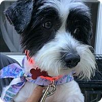 Adopt A Pet :: Snooki - Encino, CA
