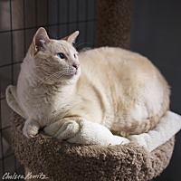 Siamese Cat for adoption in Los Angeles, California - Earl