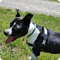 Staffordshire Bull Terrier Dog for adoption in Crocker, Missouri - Jones