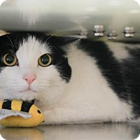 Adopt A Pet :: Bellatrix - Boise, ID