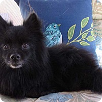 Adopt A Pet :: Shiloh - Kamloops, BC