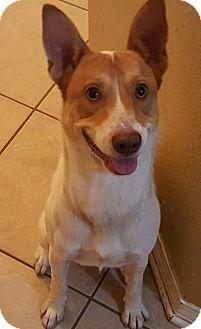 Basenji Mix Dog for adoption in Navarre, Florida - buddy