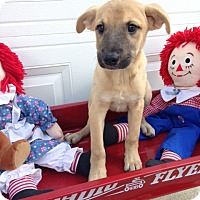 Labrador Retriever/Shepherd (Unknown Type) Mix Puppy for adoption in Manchester, New Hampshire - Daisy - pending