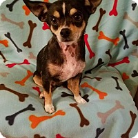 Chihuahua Mix Dog for adoption in Fairmont, West Virginia - Cherokee