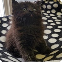 Adopt A Pet :: Sansa - Washougal, WA