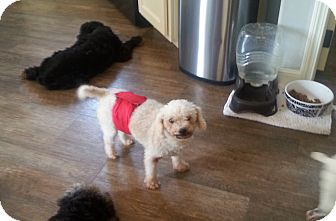 Poodle (Miniature) Dog for adoption in Dothan, Alabama - Big Boy