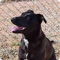 Adopt A Pet :: Bella - Sierra Vista, AZ