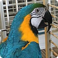 Macaw for adoption in Punta Gorda, Florida - Simba